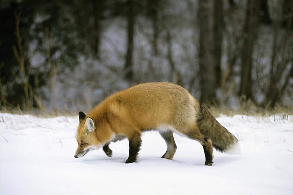 Fox in Canada