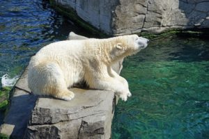 Oso polar, representante de la flora y fauna de Canadá